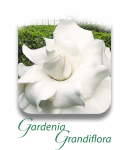 GardeniaGrandiflora_CAT